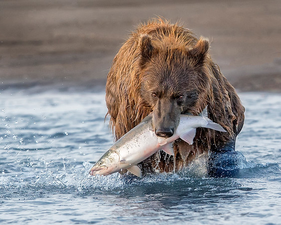 Lake Clark National Park Brown Bear with Silver Salmon