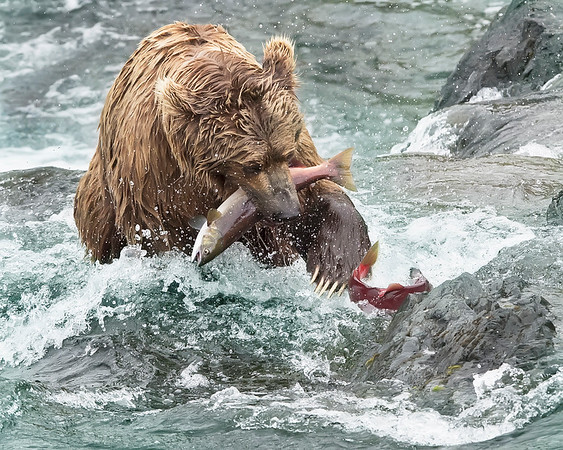 Katmai National Park Brown Bear with red salmon