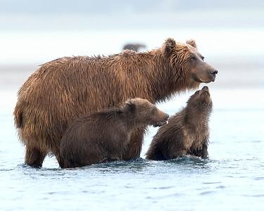 Lake Clark Brown Bear Sow and Cub