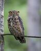 Potter Marsh Great Horned Owl