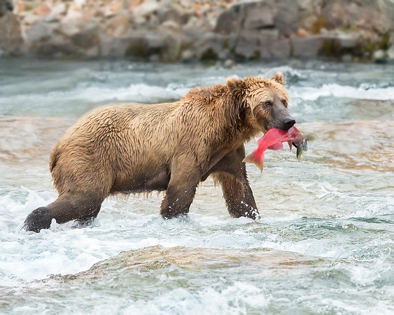 Katmai National Park Brown Bear with recently caught red salmon
