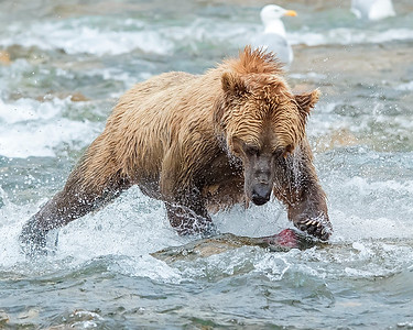 Katmai National Park Brown Bear catching red salmon