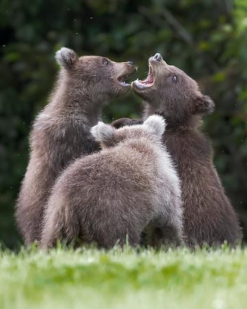 Lake Clark National Park Brown Bears Playing