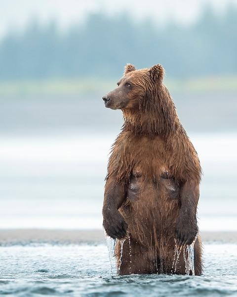 Lake Clark Brown Bear