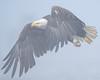 Anchor Point Bald Eagle