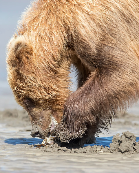 Lake Clark Brown Bear clamming
