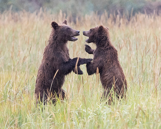 Lake Clark National Park Brown Bear Cubs Playing