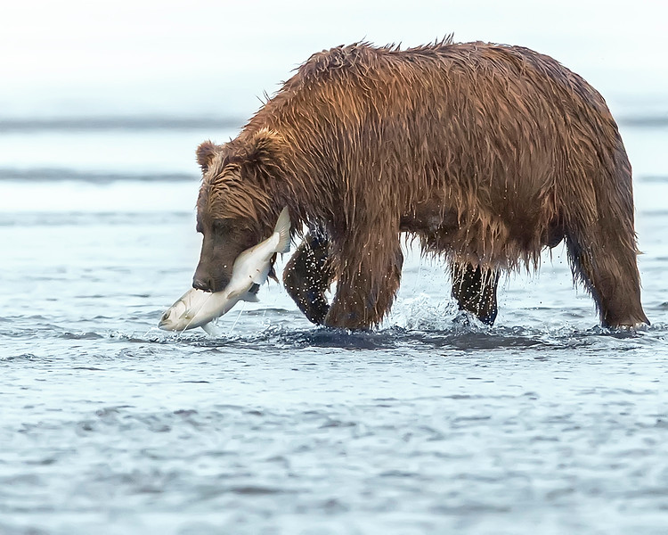 Lake Clark Brown Bear with Silver Salmon