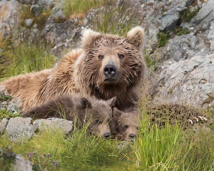 Katmai National Park Sow Brown Bear and Cubs