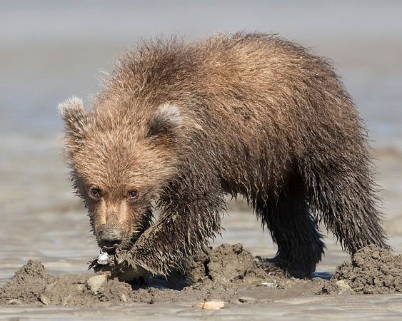 Lake Clark National Park Brown Bear Cub