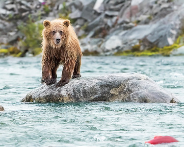 Katmai National Park juvenile Brown Bear staring  down  red salmon