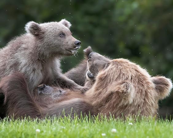 Lake Clark National Park Brown Bear Sow Nursing Cubs