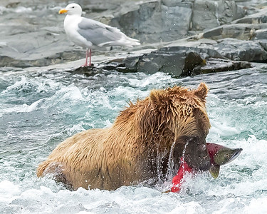 Katmai National Park Brown Bear with recently caugtht red salmon