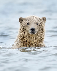 Polar Bear within Arctic National Wildlife Refuge, Alaska