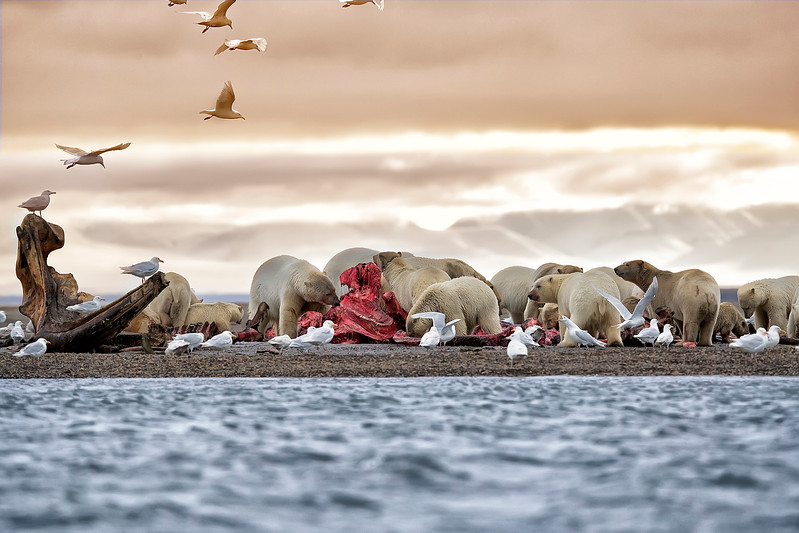 Polar Bears within Arctic National Wildlife Refuge, Alaska
