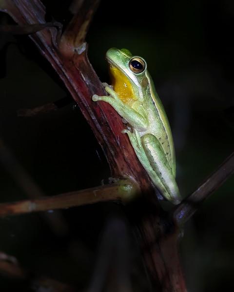 Ibera' Wetlands Tree Frog