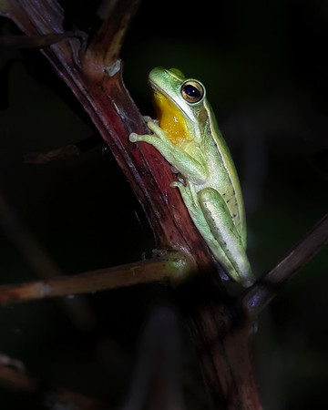 Ibera' Wetlands Tree Frog