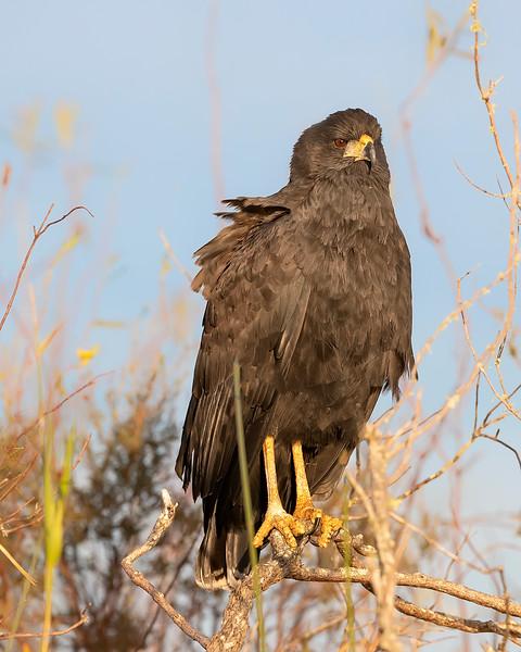 Ibera' Wetlands Great Black Hawk