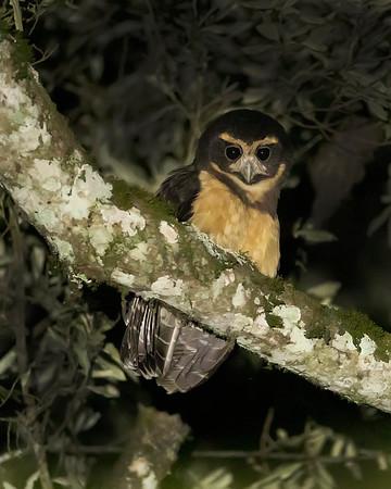 Sebastián de la Selva Tawny-browed Owl