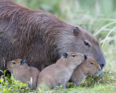 Ibera' Wetlands Cabybara Family