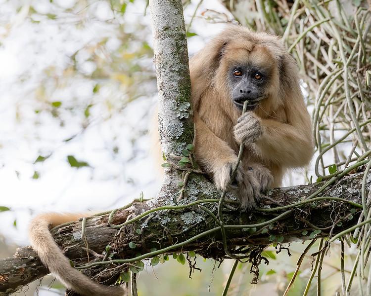 Ibera' Wetlands Black Howler Monkey