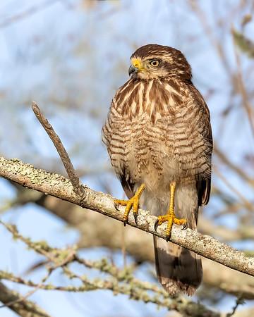 Ibera' Wetlands Roadside Hawk