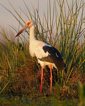 Ibera' Wetlands Maguari Stork