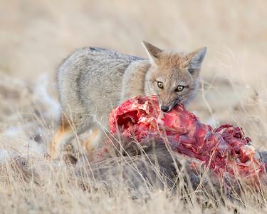 Santa Cruz Patagonian Fox