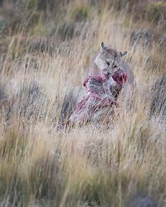 Puma in Torres del Paine National Park