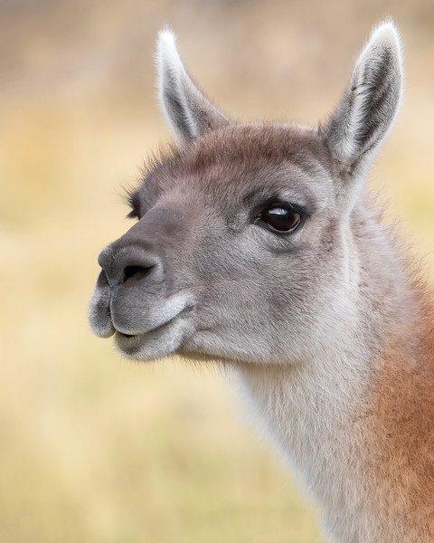 Torres del Paine National Park Guanaco