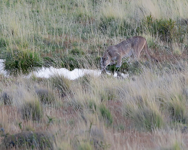 Puma in Torres del Paine National Park