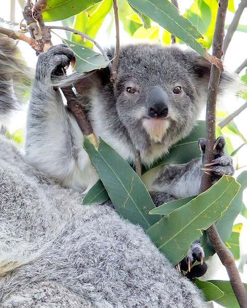 This photograph of a Koala joey was captured in Magnetic Island National Park, Australia (7/14). This photograph is protected by the U.S. Copyright Laws and shall not to be downloaded or reproduced by any means without the formal written permission of Ken Conger Photography.