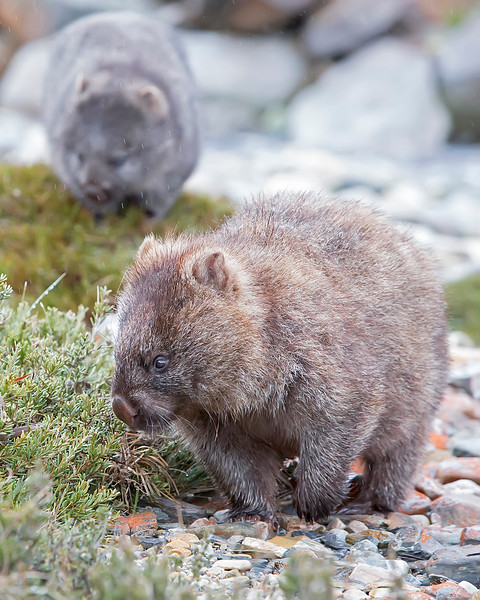 This photograph of a Wombat and juvenile in background was captured within Cradle Mountain National Park, Australia (7/14). This photograph is protected by the U.S. Copyright Laws and shall not to be downloaded or reproduced by any means without the formal written permission of Ken Conger Photography.