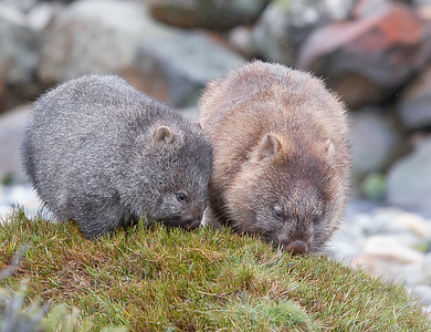 This photograph of a Wombat and juvenile was captured within Cradle Mountain National Park, Australia (7/14). This photograph is protected by the U.S. Copyright Laws and shall not to be downloaded or reproduced by any means without the formal written permission of Ken Conger Photography.