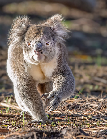 This photograph of a Koala was captured within Kangaroo Island, Australia (7/14). This photograph is protected by the U.S. Copyright Laws and shall not to be downloaded or reproduced by any means without the formal written permission of Ken Conger Photography.