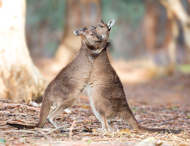 This photograph of a mother Kangaroo Island Kangaroo and juvenile hugging was captured within Kangaroo Island, Australia (7/14). This photograph is protected by the U.S. Copyright Laws and shall not to be downloaded or reproduced by any means without the formal written permission of Ken Conger Photography.