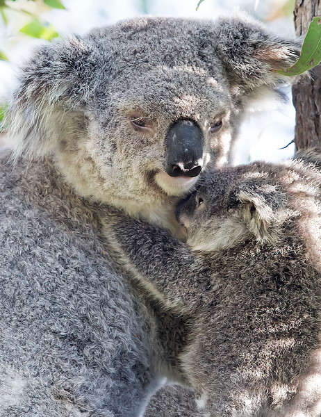 This photograph of a Koala mother and joey was captured in Magnetic Island National Park, Australia (7/14). This photograph is protected by the U.S. Copyright Laws and shall not to be downloaded or reproduced by any means without the formal written permission of Ken Conger Photography.