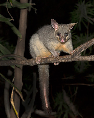 This photograph of a Common Brushtail Possum was captured within Kangaroo Island, Australia (7/14). This photograph is protected by the U.S. Copyright Laws and shall not to be downloaded or reproduced by any means without the formal written permission of Ken Conger Photography.
