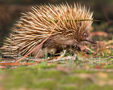 This photograph of a Echnida was captured within Kangaroo Island, Australia (7/14). This photograph is protected by the U.S. Copyright Laws and shall not to be downloaded or reproduced by any means without the formal written permission of Ken Conger Photography.
