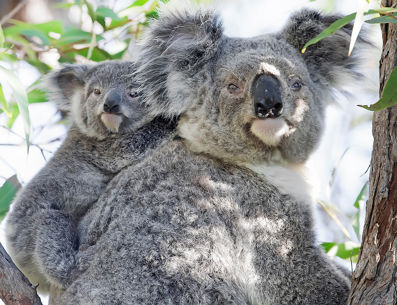 This photograph of a Koala mother and joey was captured within Magnetic Island National Park, Australia (7/14). This photograph is protected by the U.S. Copyright Laws and shall not to be downloaded or reproduced by any means without the formal written permission of Ken Conger Photography.