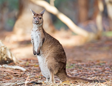 This photograph of a Kangaroo Island Kangaroo was captured within Kangaroo Island, Australia (7/14). This photograph is protected by the U.S. Copyright Laws and shall not to be downloaded or reproduced by any means without the formal written permission of Ken Conger Photography.