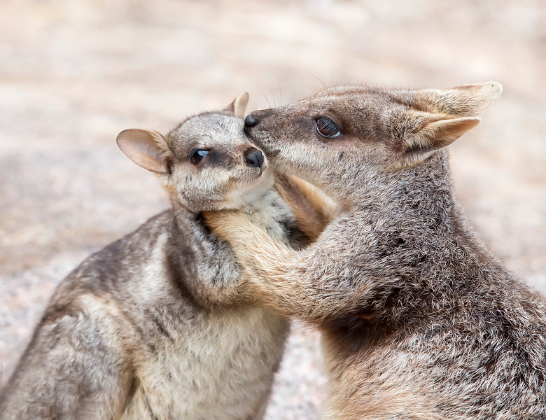 This photograph of a mother and joey Rock Wallaby was captured within Magnetic Island, Australia (7/14). This photograph is protected by the U.S. Copyright Laws and shall not to be downloaded or reproduced by any means without the formal written permission of Ken Conger Photography.