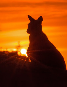 This sunrise photograph of a silhouetted Rock Wallaby was captured within Magnetic Island, Australia (7/14). This photograph is protected by the U.S. Copyright Laws and shall not to be downloaded or reproduced by any means without the formal written permission of Ken Conger Photography.