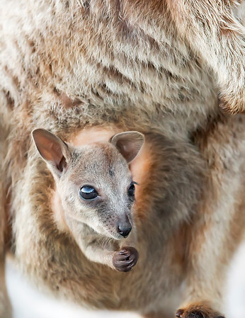 This photograph of a Rock Wallaby joey was captured within Magnetic Island, Australia (7/14). This photograph is protected by the U.S. Copyright Laws and shall not to be downloaded or reproduced by any means without the formal written permission of Ken Conger Photography.