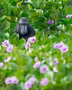 "This photograph of a Crested or Sulawesi Black Macaque seated in morning glories was captured in Tangkoko National Park in Sulawesi, Indonesia (5/13).  <FONT COLOR=""RED""><h5>This photograph is protected by the U.S. Copyright Laws and shall not to be downloaded or reproduced by any means without the formal written permission of Ken Conger Photography.<FONT COLOR=""RED""></h5>"