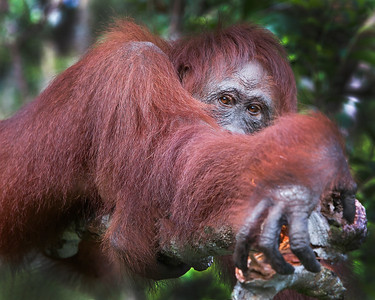 This photograph of a relaxing Bornean Orangutan was captured in Tanjung Puting National Park in Borneo, Indonesia (5/13).  This photograph is protected by the U.S. Copyright Laws and shall not to be downloaded or reproduced by any means without the formal written permission of Ken Conger Photography.