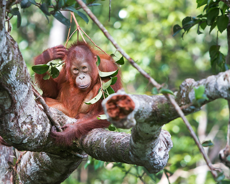 This photograph of a Bornean Orangutan baby playing with a branch, was captured in Tanjung Puting National Park in Borneo, Indonesia (5/13).  This photograph is protected by the U.S. Copyright Laws and shall not to be downloaded or reproduced by any means without the formal written permission of Ken Conger Photography.