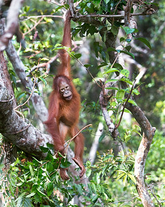 This photograph of a Bornean Orangutan baby hanging and playing with a branch, was captured in Tanjung Puting National Park in Borneo, Indonesia (5/13).  This photograph is protected by the U.S. Copyright Laws and shall not to be downloaded or reproduced by any means without the formal written permission of Ken Conger Photography.