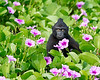 "This photograph of a young Crested or Sulawesi Black Macaque seated in morning glories was captured in Tangkoko National Park in Sulawesi, Indonesia (5/13).  <FONT COLOR=""RED""><h5>This photograph is protected by the U.S. Copyright Laws and shall not to be downloaded or reproduced by any means without the formal written permission of Ken Conger Photography.<FONT COLOR=""RED""></h5>"