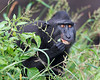 "This photograph of a Crested or Sulawesi Black Macaque chewing on some grass was captured in Tangkoko National Park in Sulawesi, Indonesia (5/13).  <FONT COLOR=""RED""><h5>This photograph is protected by the U.S. Copyright Laws and shall not to be downloaded or reproduced by any means without the formal written permission of Ken Conger Photography.<FONT COLOR=""RED""></h5>"